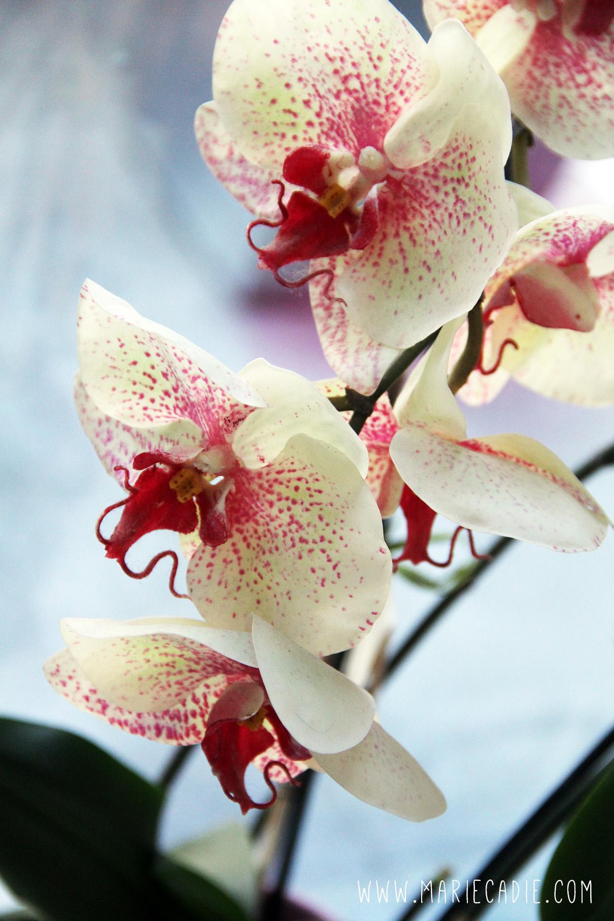 MC_Melissa_orchidee